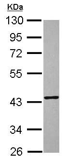 Western blot - TXNL2 antibody (ab102472)