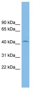 Western blot - RIBC1 antibody (ab102540)