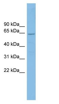 Western blot - CRY2 antibody (ab102542)