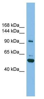 Western blot - SH3BP4 antibody (ab102543)