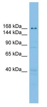 Western blot - E2 230K antibody (ab102544)