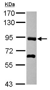 Western blot - PDZRN4 antibody (ab102579)