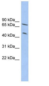 Western blot - RNF22 antibody (ab102584)