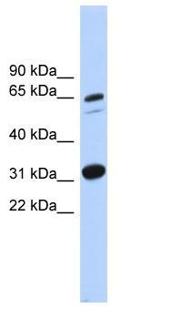 Western blot - C16orf9 antibody (ab102585)