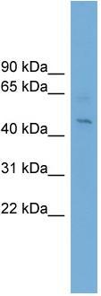 Western blot - eIF4A1 antibody (ab102596)