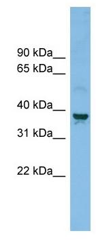 Western blot - SLC30A3 antibody (ab102611)