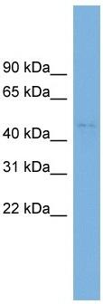 Western blot - C10orf30 antibody (ab102622)