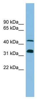 Western blot - GRASP65 antibody (ab102645)