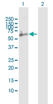 Western blot - CD244 antibody (ab102667)