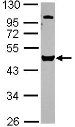 Western blot - Anti-VPS4B antibody (ab102687)