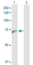 Western blot - PWP1 antibody (ab102799)