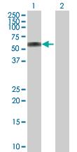 Western blot - ATP6AP1 antibody (ab102806)