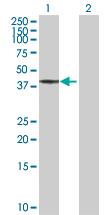 Western blot - BCS1L antibody (ab102808)