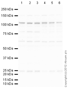 Western blot - Anti-SUN1 antibody (ab103021)