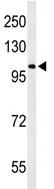 Western blot - OXR1 antibody - N-terminal (ab103042)