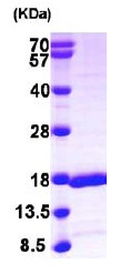 SDS-PAGE - GABARAPL2 protein (ab103055)