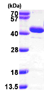 SDS-PAGE - BPNT1 protein (ab103057)