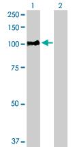 Western blot - RIN1 antibody (ab103151)