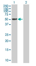 Western blot - SH2D4A antibody (ab103166)