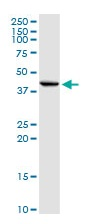 Western blot - Anti-Inhibin beta E chain antibody (ab103167)