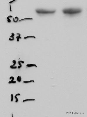 Western blot - DMP1 antibody (ab103203)