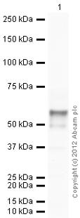 Western blot - Anti-DMP1 antibody (ab103203)