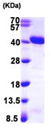 SDS-PAGE - APE1 protein (ab103260)