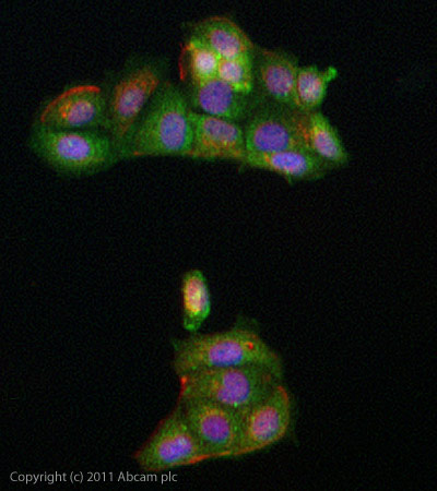 Immunocytochemistry/ Immunofluorescence - Anti-WISP3 antibody (ab103263)