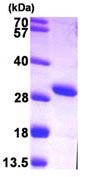 SDS-PAGE - AK3L1 protein (ab103301)
