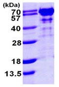 SDS-PAGE - G3BP protein (ab103304)