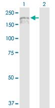 Western blot - IQGAP3 antibody (ab103372)