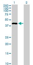 Western blot - STAC antibody (ab103373)