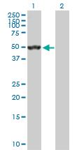 Western blot - SEPT10 antibody (ab103414)