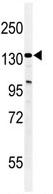 Western blot - TAF2 antibody (ab103468)