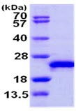SDS-PAGE - RAC3 protein (ab103470)