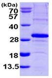 SDS-PAGE - SCO2 protein (ab103492)