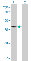 Western blot - GAS2L3 antibody (ab103493)