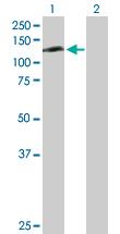 Western blot - RFXDC1 antibody (ab103497)