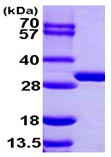 SDS-PAGE - BPHL protein (ab103498)