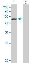 Western blot - HOOK1 antibody (ab103533)