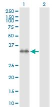 Western blot - Syntaxin 7 antibody (ab103538)