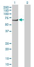 Western blot - PI4KAP2 antibody (ab103542)