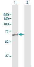 Western blot - ASMTL antibody (ab103543)