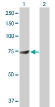 Western blot - DDX53 antibody (ab103545)