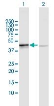 Western blot - OXA1L antibody (ab103546)