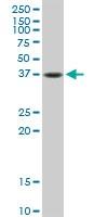 Western blot - Anti-Fas antibody (ab103551)