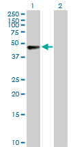 Western blot - AFF4 antibody (ab103586)