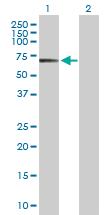 Western blot - POLA2 antibody (ab103591)