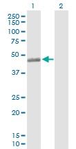 Western blot - C3a Receptor antibody (ab103629)