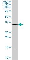 Western blot - BRDG 1 antibody (ab103646)